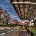 HDR-農林団地の桜とバス停