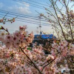 HDR-桜の花と
