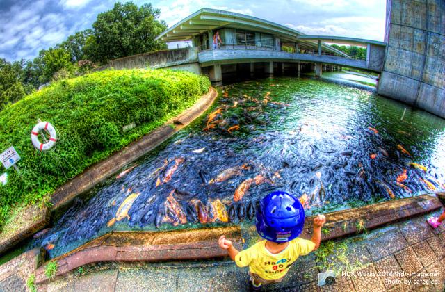 松見公園鯉